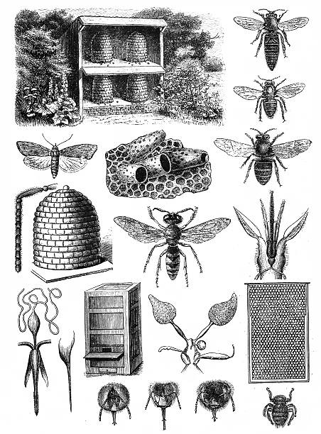 "Beekeeping Beekeeping (or apiculture, from Latin: apis ""bee"") is the maintenance of honey bee colonies, commonly in hives queen bee stock illustrations"