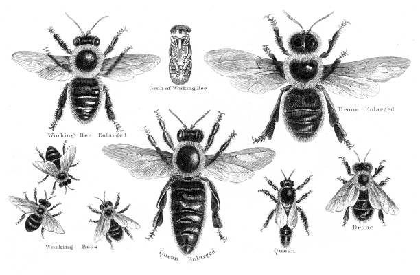 Bees engraving 1873 Facts for Farmers - Materials fror Land-owners about Domestic Animals, Gardens and Vineyards, Edited by Solon Robinson in Two Volumens New York, A.J.Johnson 1873 queen bee stock illustrations