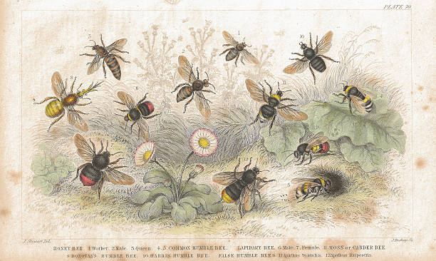 "Bees old litho print from 1852 ""Beautiful coloured antique lithograph of various bee species from Plate 70, Volume 2: A History Of The Earth And Animated Nature by Oliver Goldsmith, 1852.  Honey Bee 1. Worker 2. Male 3. Queen 4,5. Common Humble Bee.  Lapidary Bee 6. Male 7. Female 8. Moss or Carder Bee 9. Donovan's Humble Bee 10. Harris' Humble Bee.  False Humble Bees 11 Apathus Vestalis 12 Apathus Ropestris"" queen bee stock illustrations"