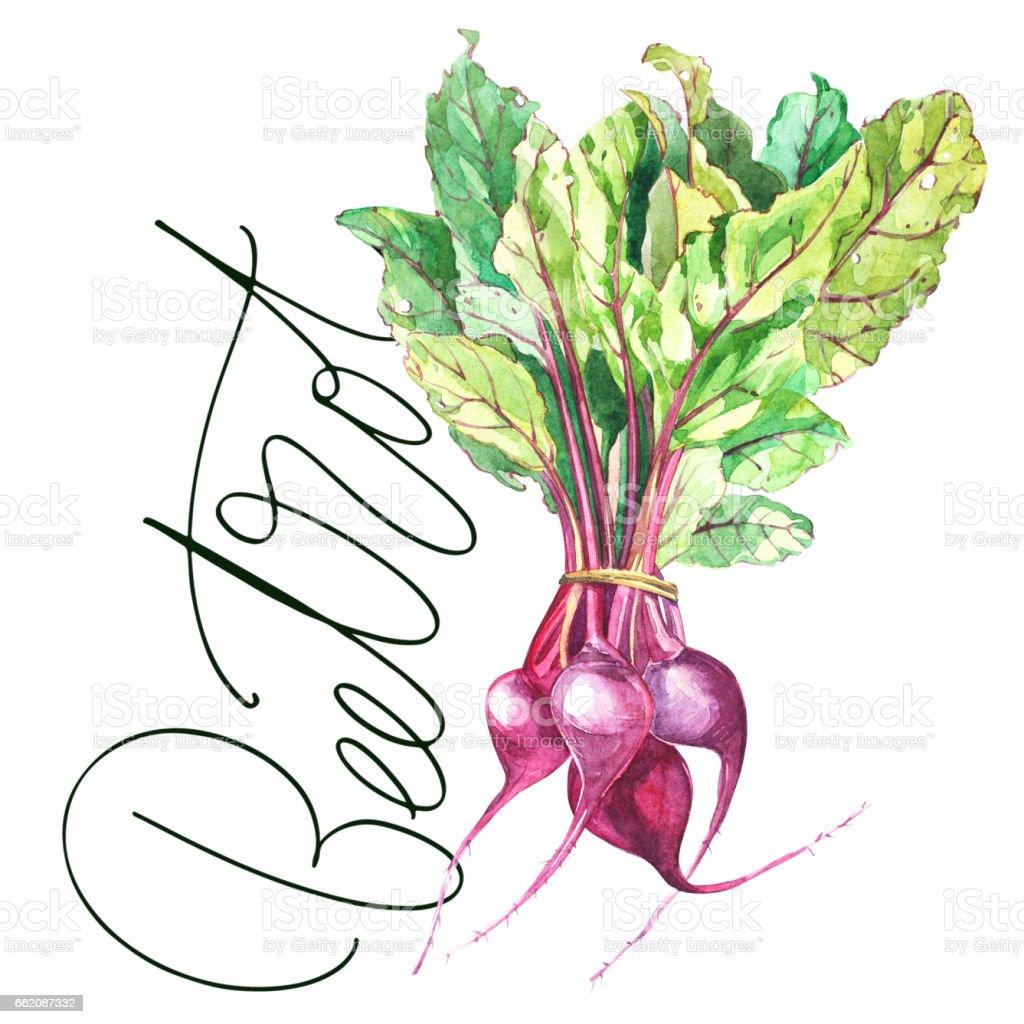 Betterave, betterave rouge avec feuilles isolée, dessinés à la main illustration peinture aquarelle. - Illustration vectorielle