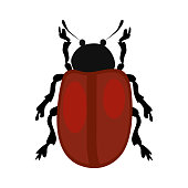 Beetle Chrysomela populi isolated . Bug, wildlife, entomology. Insects concept. can be used for topics like nature, biology, fauna