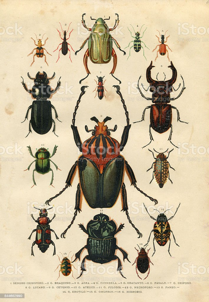 Beetle insect illustration 1881 vector art illustration