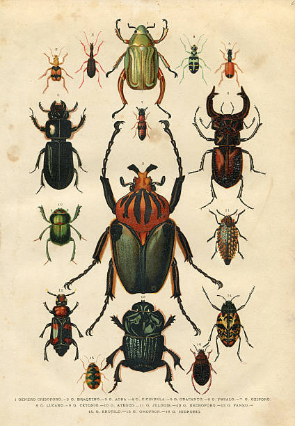 Beetle insect illustration 1881 Steel engraving different beetles beetle stock illustrations