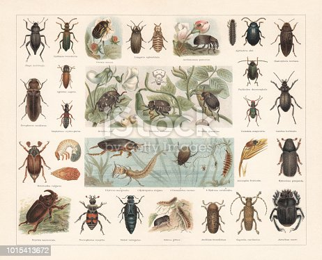 Beetles, 1st row: Darkling beetle (Blaps mortisaga); Spanish fly (Lytta vesicatoria, or Cantharis vesicatria); Rose chafer (Cetonia aurata); Glow worm (Lampyris splendidula), male (left) and female (right); Apple blossom weevil (Anthonomus pomorum); Alder leaf beetle (Agelastica alni); Flatheaded pine borer (Chalcophora mariana). 2nd row: Headlight Elater (Pyrophorus noctilucus); Lined Click Beetle (Agriotes lineatus, or Agriotes segetis); Staphylinus erythropterus; Pea weevil (Bruchus pisorum, or Bruchus pisi); Bean weevil (Acanthoscelides obtectus, or Bruchus rufimagnus) with magnified head (top); Seed beetle (Bruchus atomarius, or Bruchus granarius); Cabbage-stem flea beetle (Psylliodes chrysocephala); Green tiger beetle (Cicindela campestris); Carabus hortensis. 3rd row: Cockchafer, or May bug (Melontha vulgaris) with larva and pupa (right); Dytiscus marginalis with larva (1); Hydroporus elegans (2); Peltodytes caesus, or Cnemidotus caesus (3); Hydrous caraboides (larva, 4) Anisoplia villosa (or Anisoplia fruticola); Bark beetle (Hylesinus piniperda). 4th row: European rhinoceros beetle (Oryctes nasicornis); Burying beetle (Nicrophorus vespillo, or Necrophorus vespillo); European oil beetle (Meloe variegatus); Zabrus tenebrioides (or Zabrus gibbus); Death Watch Beetle (Xestobium rufovillosum, or Anobium tessellatum); Longhorn beetle (Saperda carcharias); Sacred scarab (Scarabaeus sacer, or Ateuchus sacer). Chromolithograph, published in 1897.