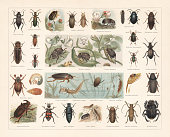 Beetles, 1st row: Darkling beetle (Blaps mortisaga); Spanish fly (Lytta vesicatoria, or Cantharis vesicatria); Rose chafer (Cetonia aurata); Glow worm (Lampyris splendidula), male (left) and female (right); Apple blossom weevil (Anthonomus pomorum); Alder leaf beetle (Agelastica alni); Flatheaded pine borer (Chalcophora mariana). 2nd row: Headlight Elater (Pyrophorus noctilucus); Lined Click Beetle (Agriotes lineatus, or Agriotes segetis); Staphylinus erythropterus; Pea weevil (Bruchus pisorum, or Bruchus pisi); Bean weevil (Acanthoscelides obtectus, or Bruchus rufimagnus) with magnified head (top); Seed beetle (Bruchus atomarius, or Bruchus granarius); Cabbage-stem flea beetle (Psylliodes chrysocephala); Green tiger beetle (Cicindela campestris); Carabus hortensis. 3rd row: Cockchafer, or May bug (Melontha vulgaris) with larva and pupa (right); Dytiscus marginalis with larva (1); Hydroporus elegans (2); Peltodytes caesus, or Cnemidotus caesus (3); Hydrous caraboides (larva, 4) Anisoplia villosa (or Anisoplia fruticola); Bark beetle (Hylesinus piniperda). 4th row: European rhinoceros beetle (Oryctes nasicornis); Burying beetle (Nicrophorus vespillo, or Necrophorus vespillo); European oil beetle (Meloe variegatus); Zabrus tenebrioides (or Zabrus gibbus); Death Watch Beetle (Xestobium rufovillosum, or Anobium tessellatum); Longhorn beetle (Saperda carcharias); Sacred scarab (Scarabaeus sacer, or Ateuchus sacer). Chromolithograph, published in 1897.