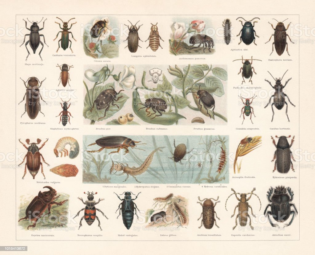 Beetles, chromolithograph, published in 1897 vector art illustration