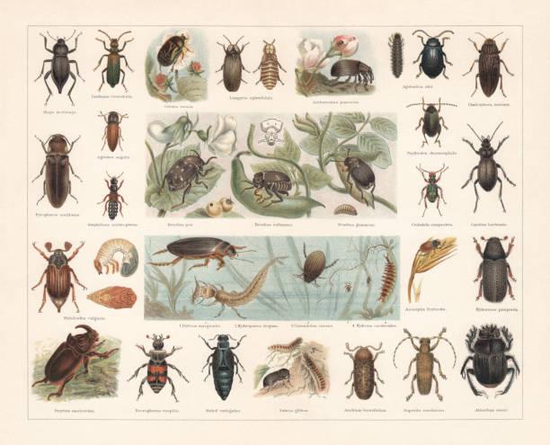 stockillustraties, clipart, cartoons en iconen met kevers, chromolithograph, gepubliceerd in 1897 - larve
