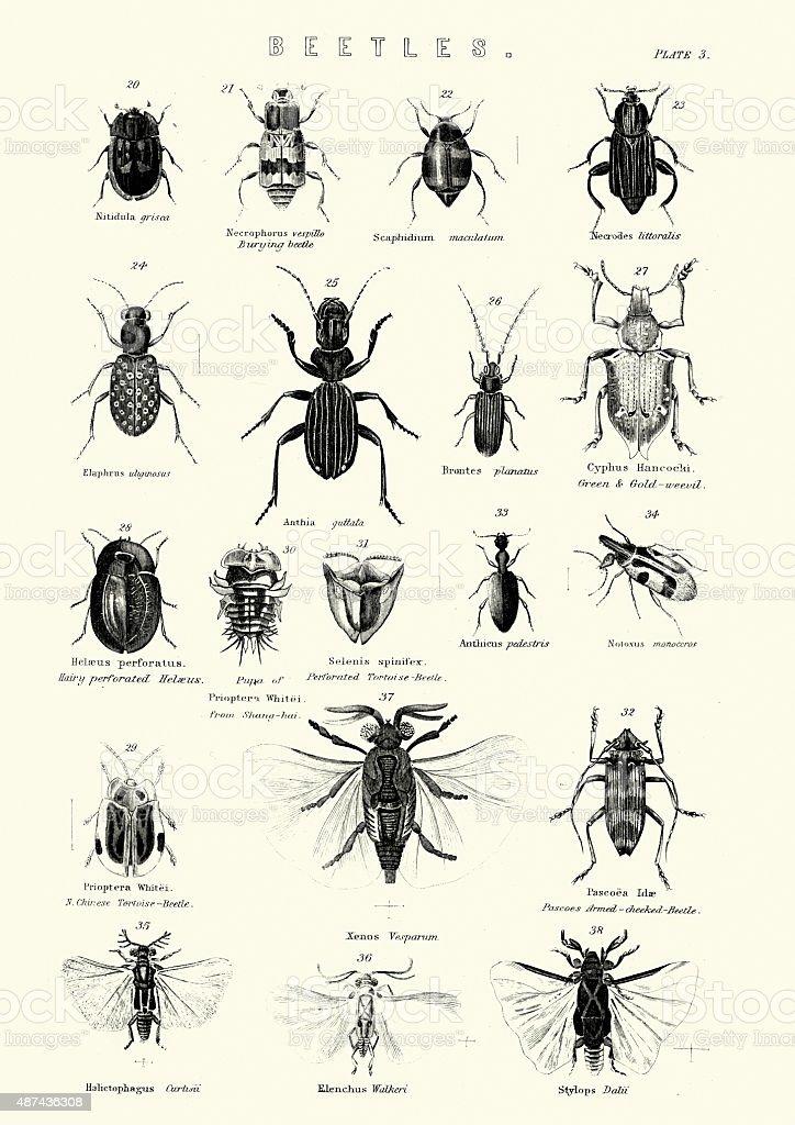 Beetles vector art illustration