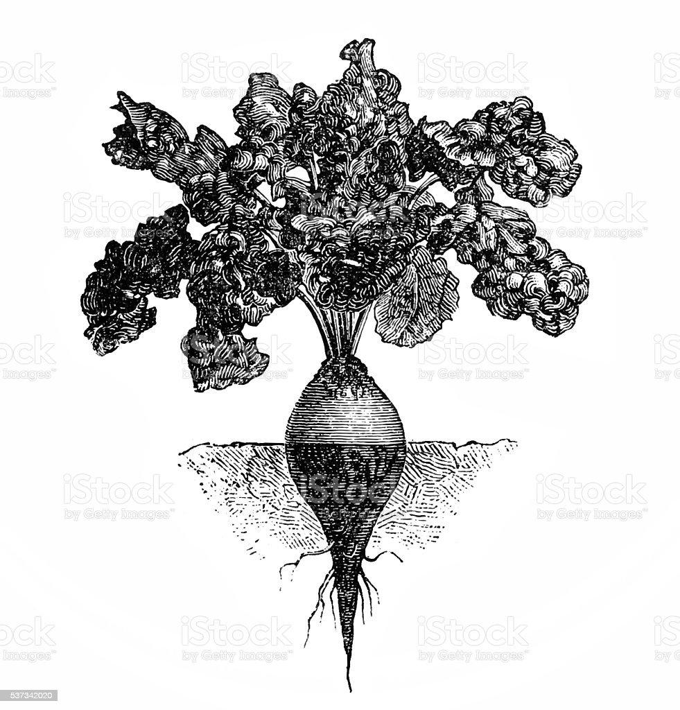 beetroot vector art illustration