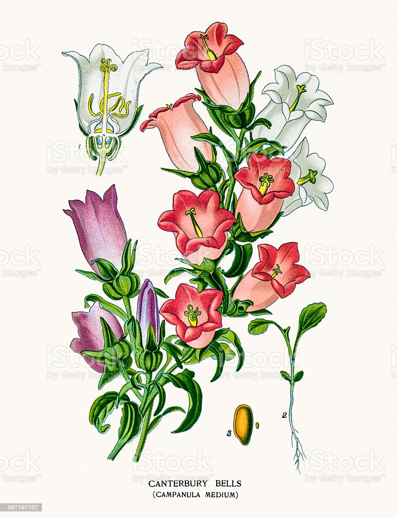 Bell flowers vector art illustration