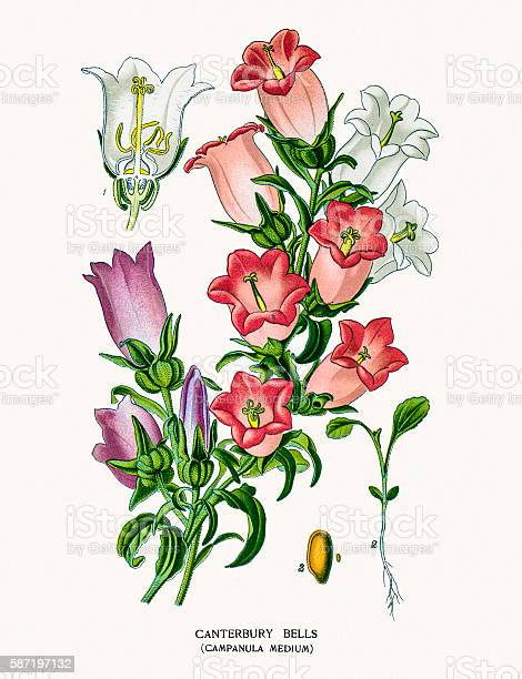 Photo of an original Fine Lithograph from the Favourite Flowers of Garden & Greenhouse by Edward Step published in 1897 in London.
