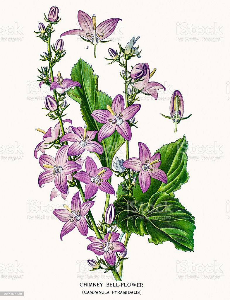 Bell flowers vector art illustration