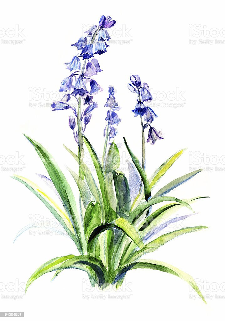 Bellflower drawing vector art illustration