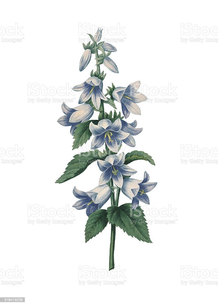 Bellflower | Redoute Flower Illustrations vector art illustration