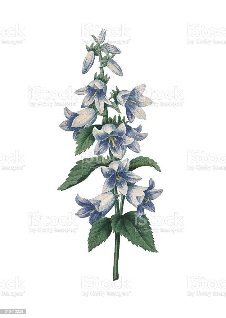 Bellflower /Redoute 花のイラスト ベクターアートイラスト