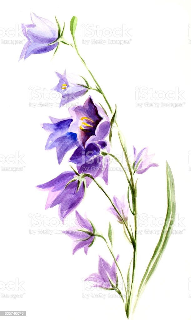 Bellflower watercolor vector art illustration