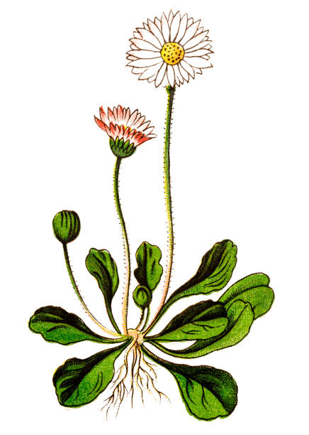 stockillustraties, clipart, cartoons en iconen met bellis perennis, gemeenschappelijke daisy, daisy van het gazon of engels daisy - madeliefje