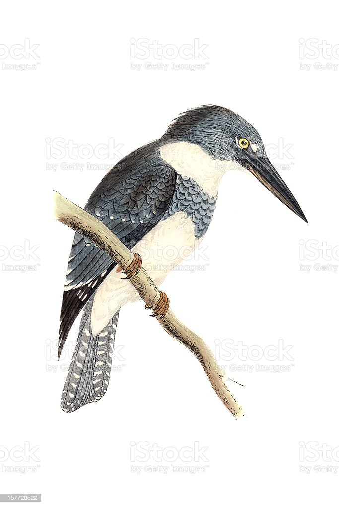 Belted Kingfisher - Hand Coloured Engraving royalty-free stock vector art