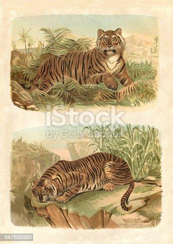 Bengal King Tiger engraving 1880