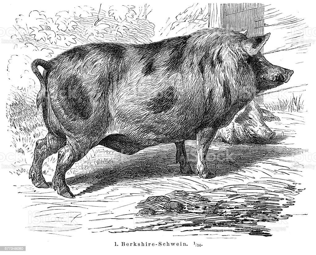 Berkshire Pigs engraving 1895 vector art illustration