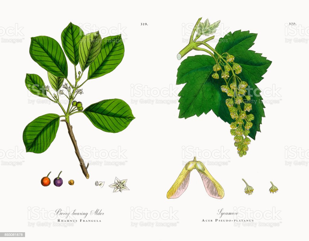 Berrybearing Alder Rhamnus Frangula Victorian Botanical