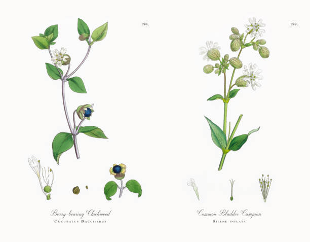 Berry Bearing Chickweed Cucubalus Bacciferus Victorian Botanical