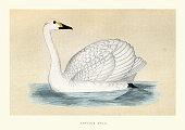 istock Bewick's swan (Cygnus bewickii), Wildlife bird art print 1292636592