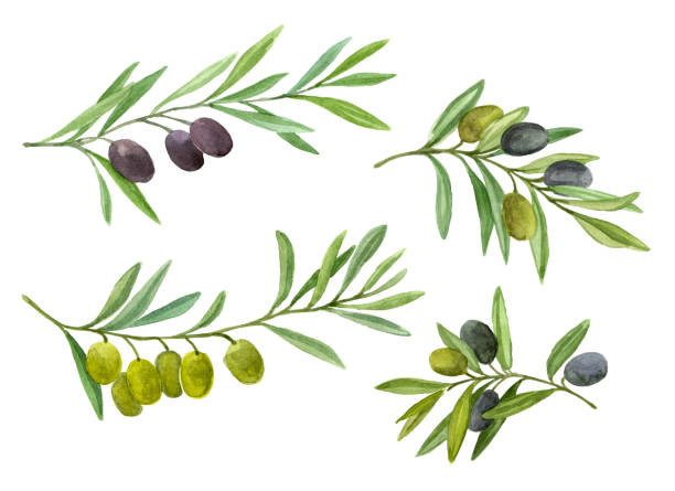 Big set with green and black olive branch Olives set. Olive branch with berries. Watercolor illustration olives stock illustrations