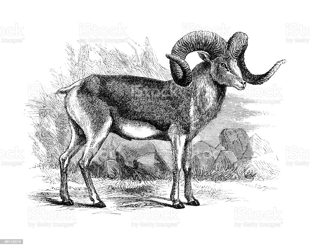 Bighorn Sheep Illustrated, circa 1867 royalty-free bighorn sheep illustrated circa 1867 stock vector art & more images of afghanistan