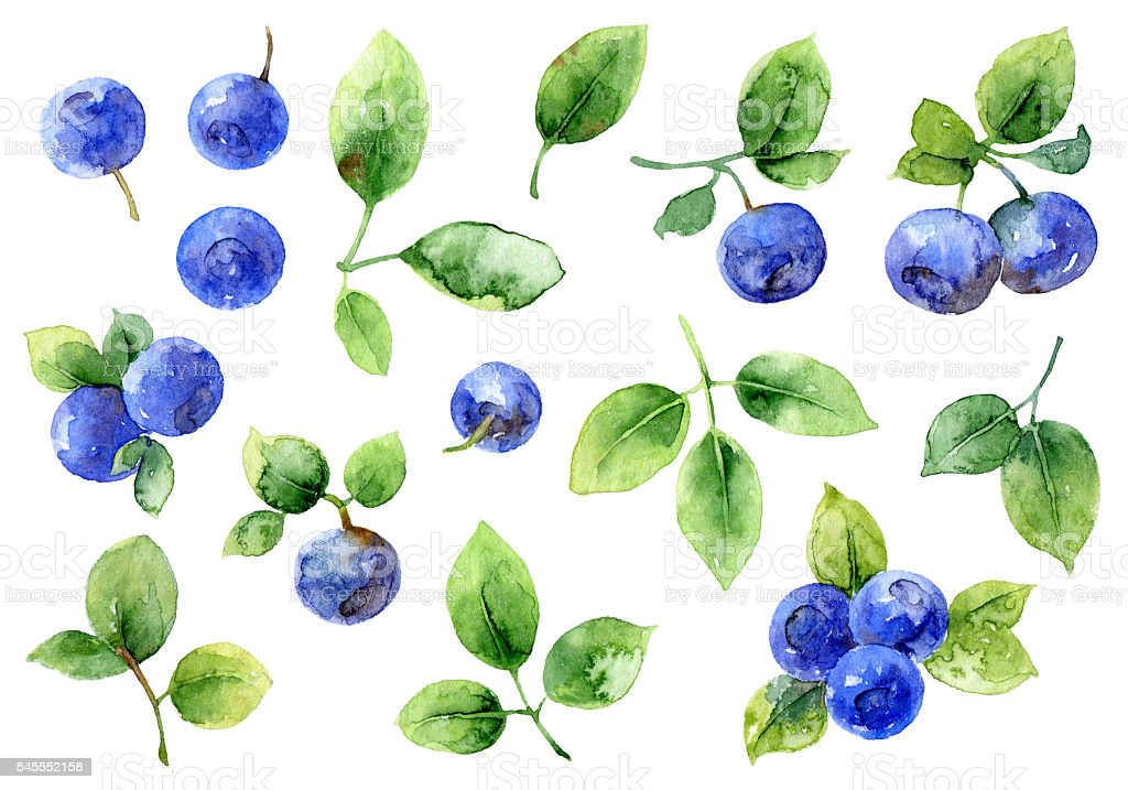 Bilberry on white background vector art illustration