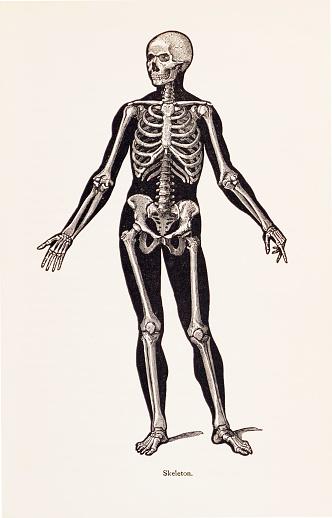 Biomedical Illustration: Human Skeleton