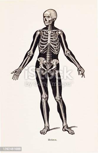 istock Biomedical Illustration: Human Skeleton 1292481688