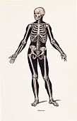 istock Biomedical Illustration: Human Skeleton 1292481688