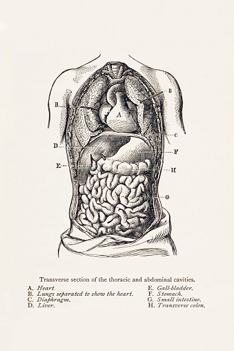Biomedical Illustration: Thoracic and Abdominal Cavities