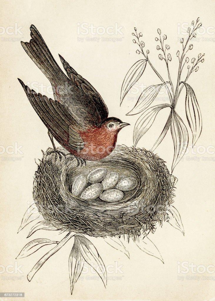 bird engraving 1851 vector art illustration