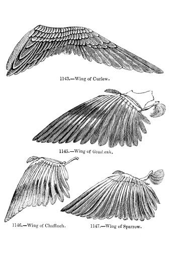 Bird Wing Illustrations