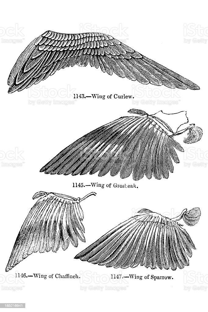 Bird Wing Illustrations vector art illustration