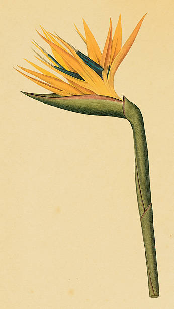 Bird-of-paradise | Antique Flower Illustrations