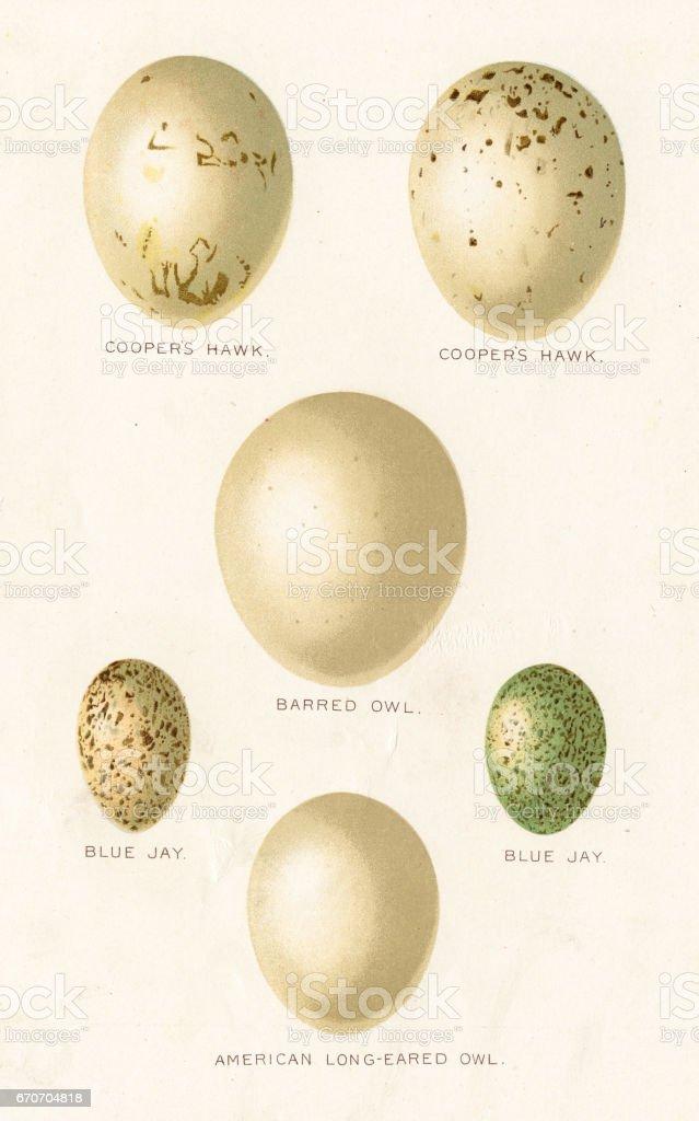 Birds eggs lithograph 1897 vector art illustration