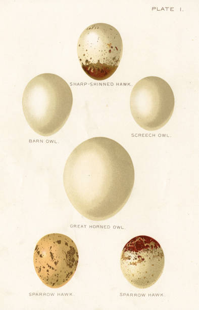 birds eggs lithograph 1897 - great horned owl stock illustrations, clip art, cartoons, & icons