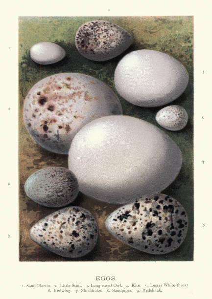 새 알, 모래 마틴, 작은 stint, 긴 귀 올빼미, 연 - 붉은발도요 stock illustrations