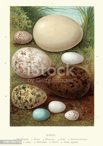 Vintage engraving of a Birds eggs, Pied Wagtail, Heron, Woodcock, Swift, Black headed Gull, Snipe Chiff-chaff, Martin, Hedge Sparrow