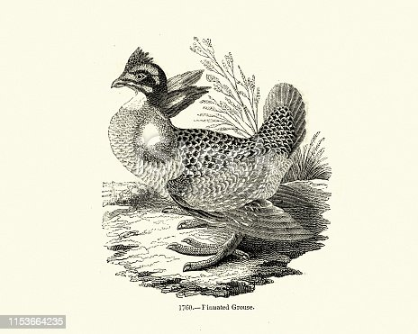 Vintage engraving of greater prairie chicken or pinnated grouse (Tympanuchus cupido), sometimes called a boomer, is a large bird in the grouse family.