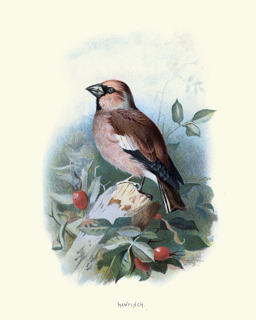 Vintage engraving of hawfinch (Coccothraustes coccothraustes) is a passerine bird in the finch family Fringillidae. Familiar Wild Birds by Swaysland, Walter