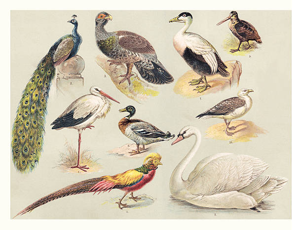 birds illustration 1888 - peacock stock illustrations