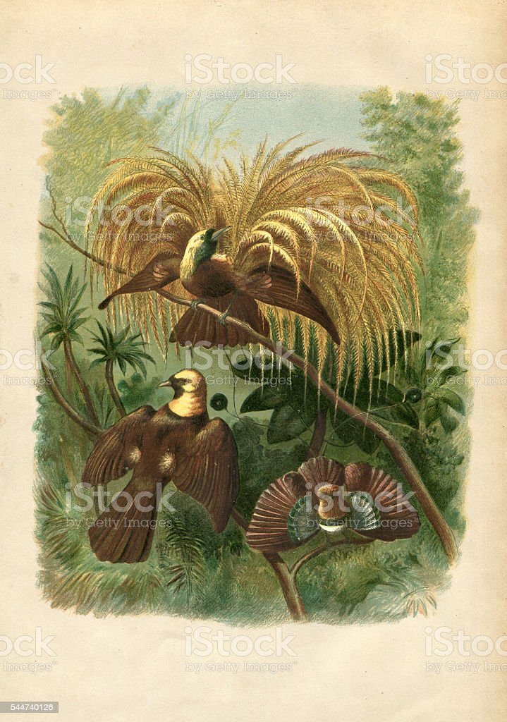 Birds of paradise Paradisaeidae illustration 1881 vector art illustration