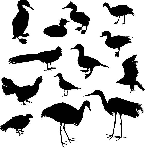Birds set II  loon bird stock illustrations