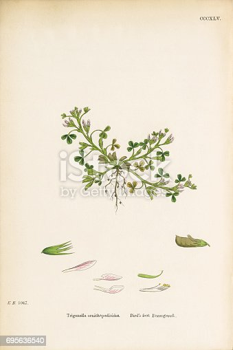 Very Rare, Beautifully Illustrated Antique Engraved and Hand Colored Victorian Botanical Illustration of Bird's-foot fenugreek, Trigonella ornithopodioides, 1863 Plants. Plate 345, Published in 1863. Source: Original edition from my own archives. Copyright has expired on this artwork. Digitally restored.