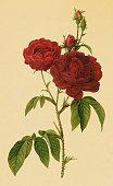 istock Bishop rose   Antique Flower Illustrations 182206596