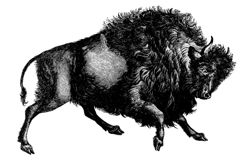Bison | Antique Animal Illustrations